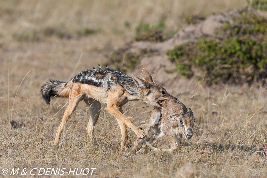 chacal à chabraque / black-backed jackal