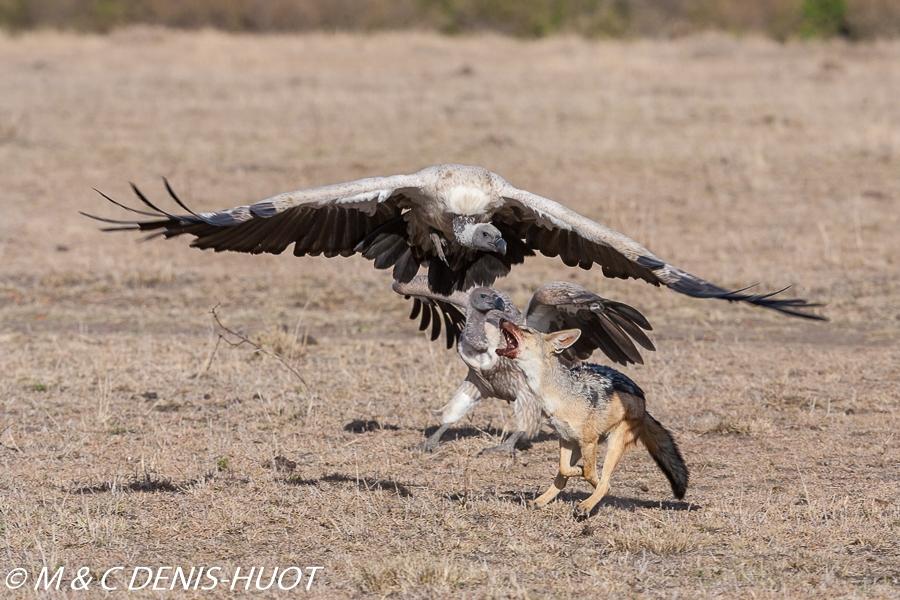 chacal et vautour / jackal and vulture