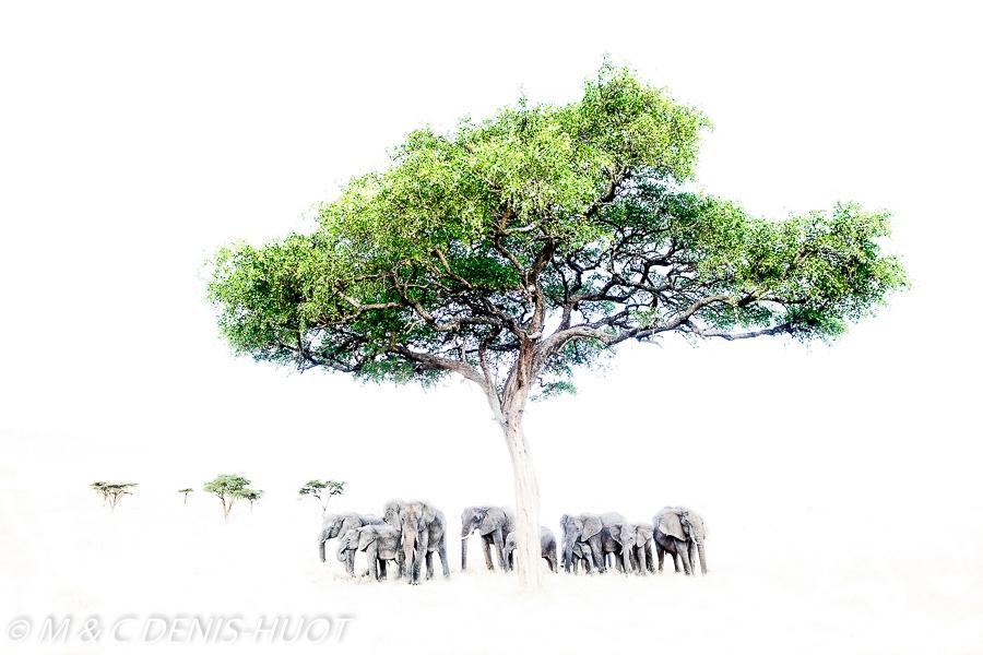 éléphant d'Afrique / african elephant