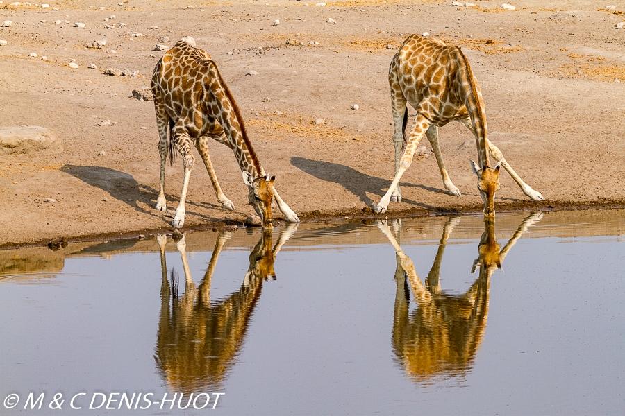 Girafe du Sud / Southern giraffe