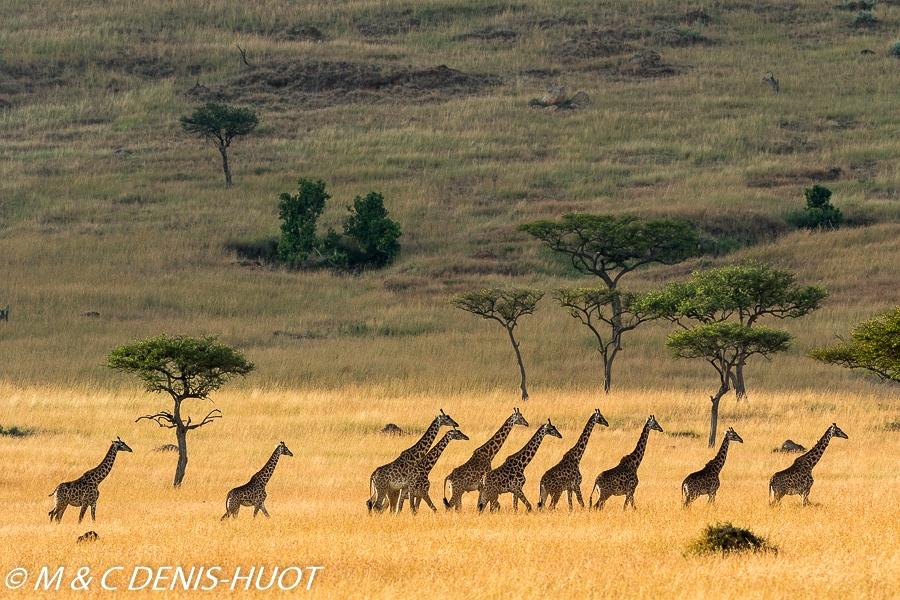 girafe Masai / Masai giraffe