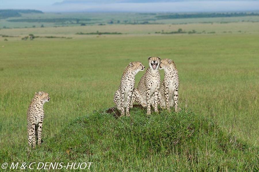 guepard / cheetah