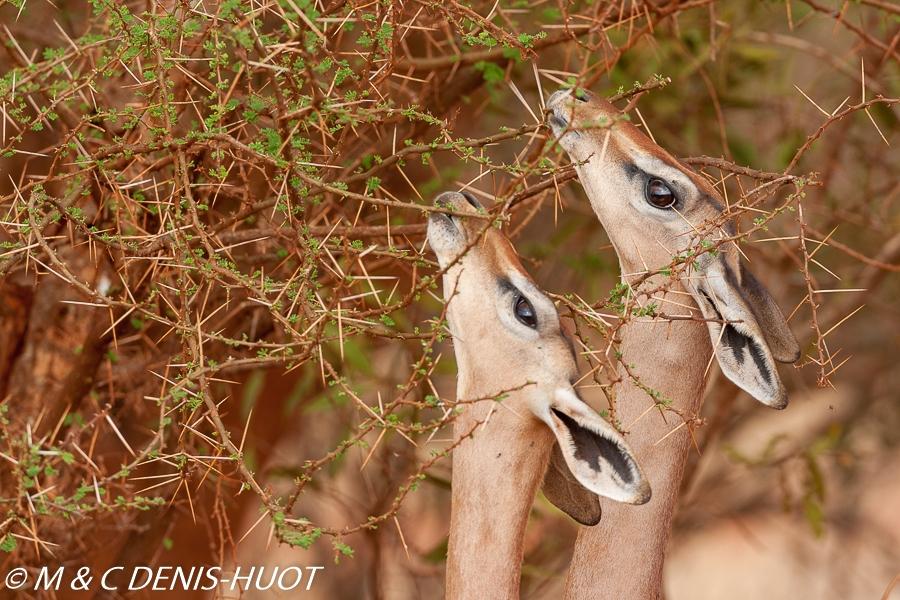 gazelle de Waller / Gerenuk