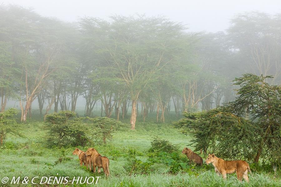 lionne en chasse / lioness hunting