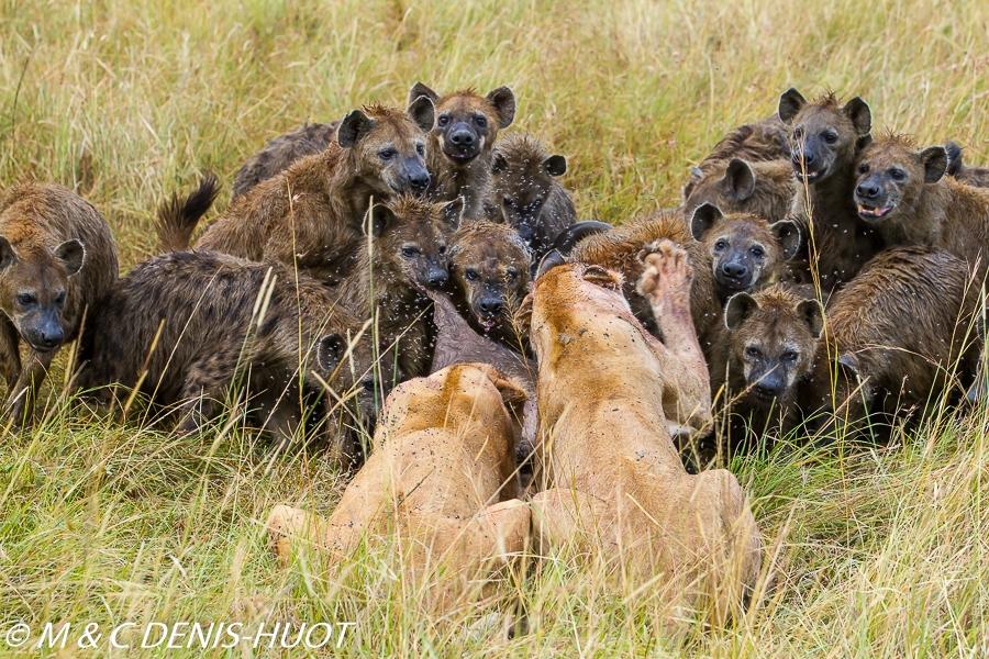 lion et hyènes / lion and hyenas