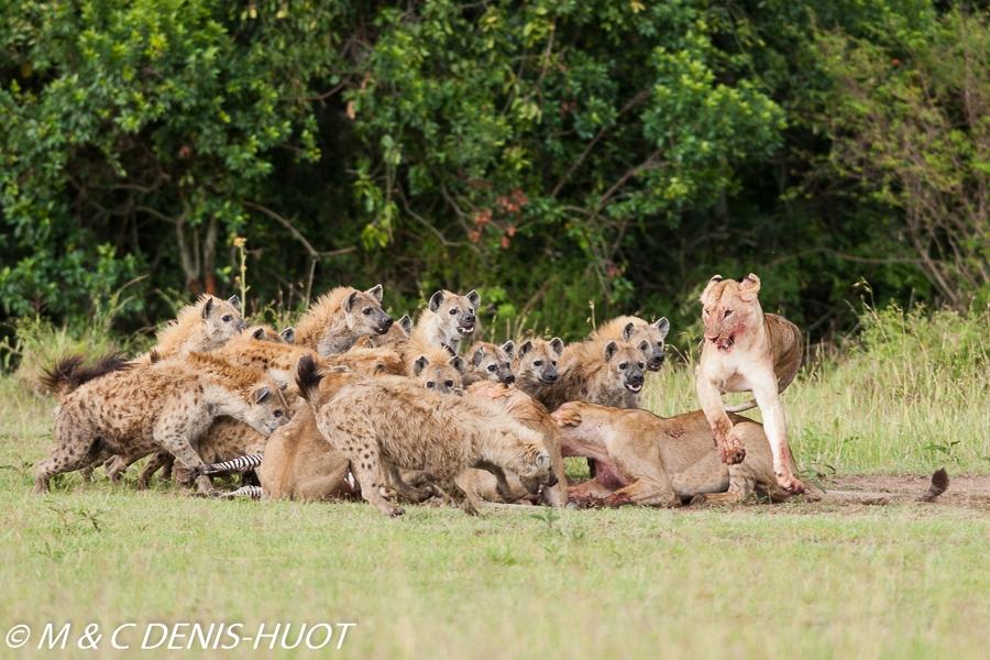 hyène tachetée / spotted hyena