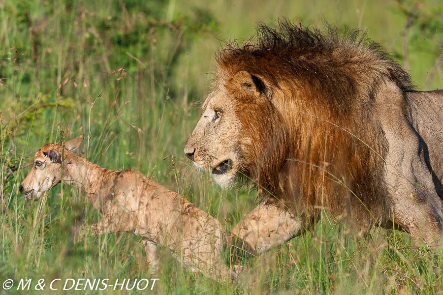 lion mâle / male lion