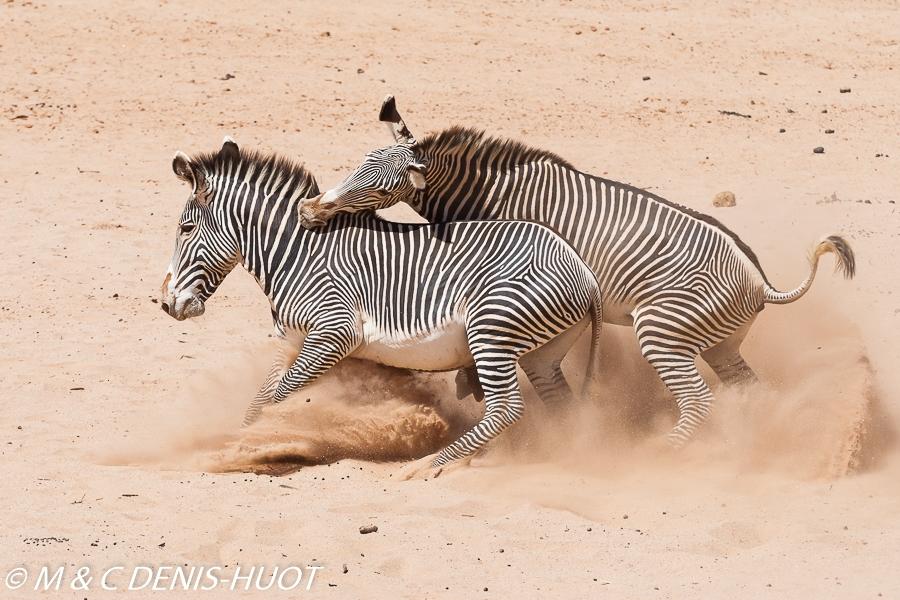 zèbre de Grévy / Grevy's zebra