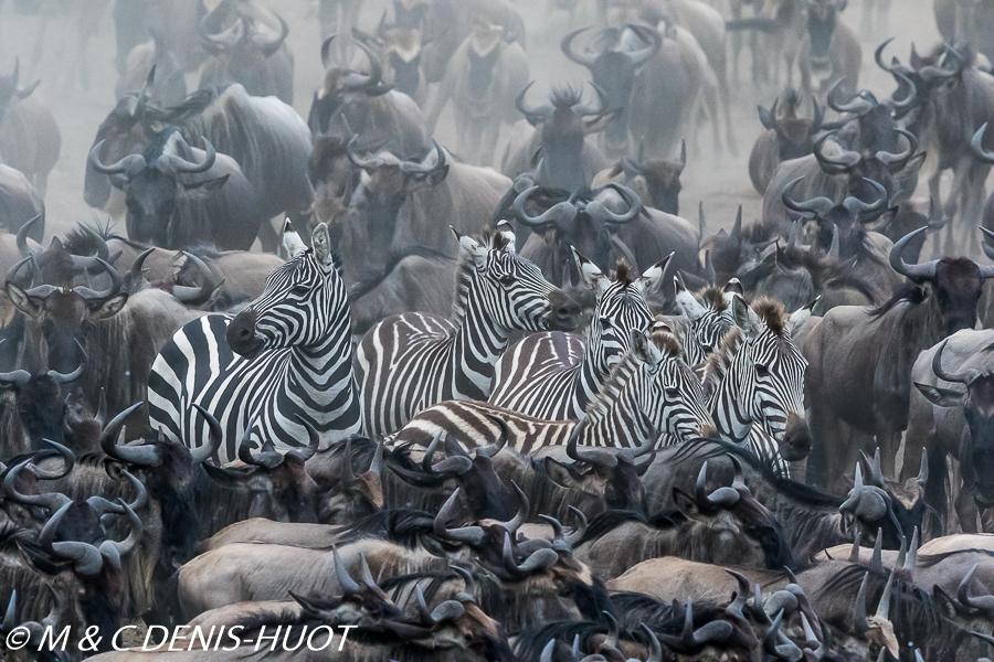 zèbre de Grant / Grant's zebra