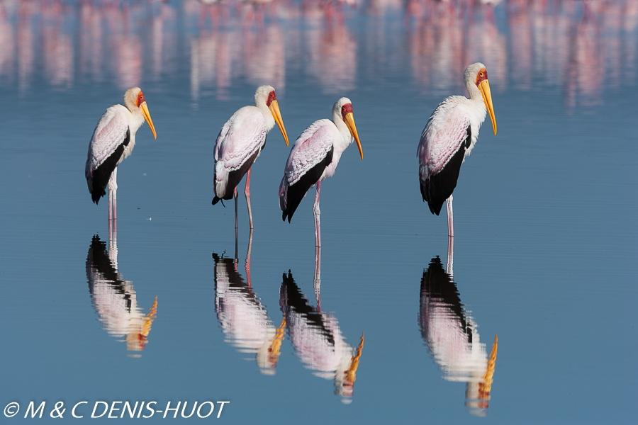 tantale / yellow-billed stork