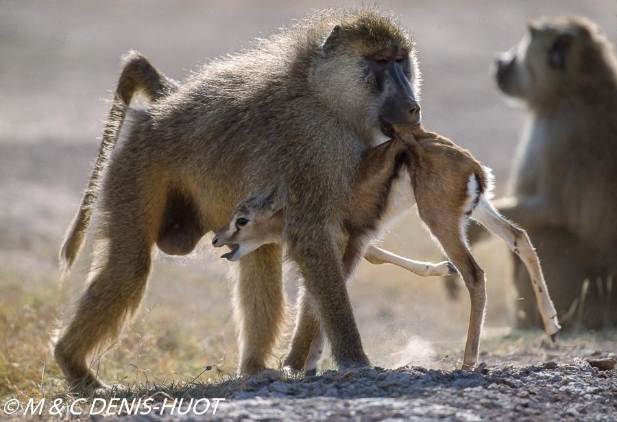 Babouin jaune / Yellow baboon