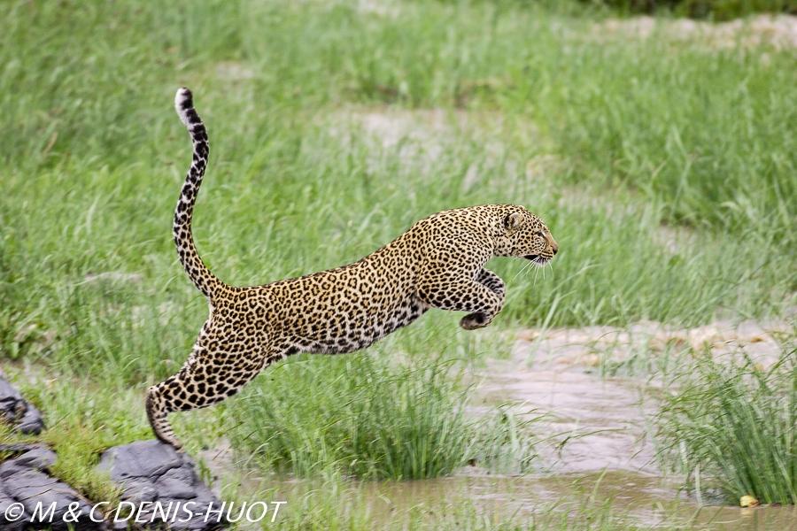 leopard female