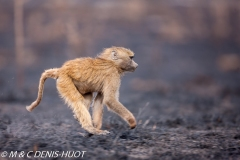 Babouin doguera / Olive baboon