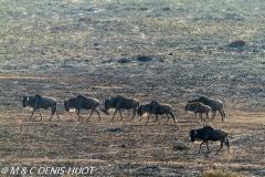 Gnou / Wildebeest