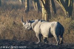 rhinocéros noir / black rhino