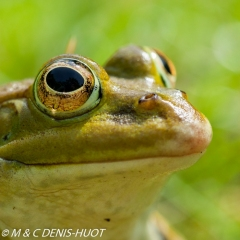 grenouille verte / green frog