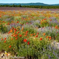 champ de lavandes et coquelicots / lavender field and poppies