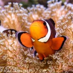 poisson clown / clownfish