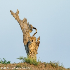 guépard / cheetah