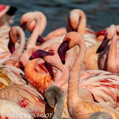 flamant nain / lesser flamingo