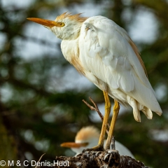 heron garde-boeuf / cattle egret