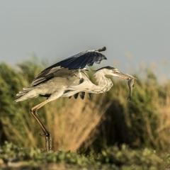 héron cendré / grey heron