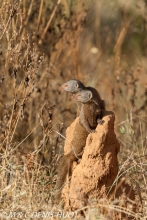 mangouste naine / dwarf mongoose